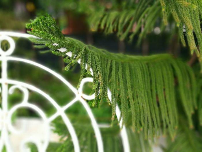 White Chair Plant Small Leaves Trees Pine Pine Trees Fir Mugo Green Freshy Pickadaily Pickadaily Bkk