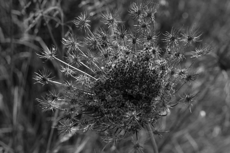 Allthough they have bloomed the old flowers look beautiful with their seeds. Black & White Flowers,Plants & Garden Nature Photography Black And White Black And White Collection  Black And White Photography Black&white Blackandwhite Blackandwhite Photography Blackandwhitephotography Close-up Day Flower Flower Collection Flower Head Flower Photography Flowerporn Flowers Fragility Growth Nature Nature_collection No People Outdoors Plant