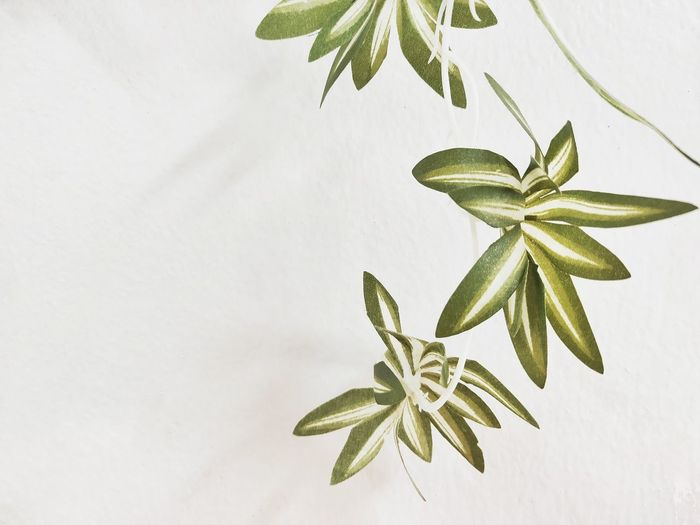 Green leaves have a white wall background. Christmas Decoration Leaf Studio Shot Christmas Flower White Background Close-up Plant Flower Head Anise Dahlia Hibiscus Hazelnut Cinnamon Walnut Dumpling  Stick - Plant Part In Bloom Pink Single Flower Star Anise Plant Pod Star Shape Blooming Pollen Petal Bauble Stamen