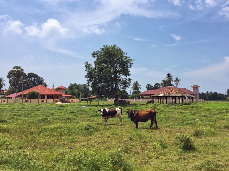 The serene village Domestic Animals Animal Themes Mammal Sky Cow Grass Cattle Livestock Field Tree Architecture Cloud - Sky Built Structure Grazing Landscape Nature Day Building Exterior No People Farm Animal