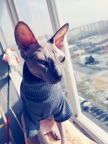 For the first time in this winter he could sit in loggia.. nice sunny day Taking Photos Winter Don Sphynx Sphynx Sphynx Cat Cat Snow ❄ EyeEm Selects Pets One Animal Domestic Animals Indoors  Mammal Animal Themes Day