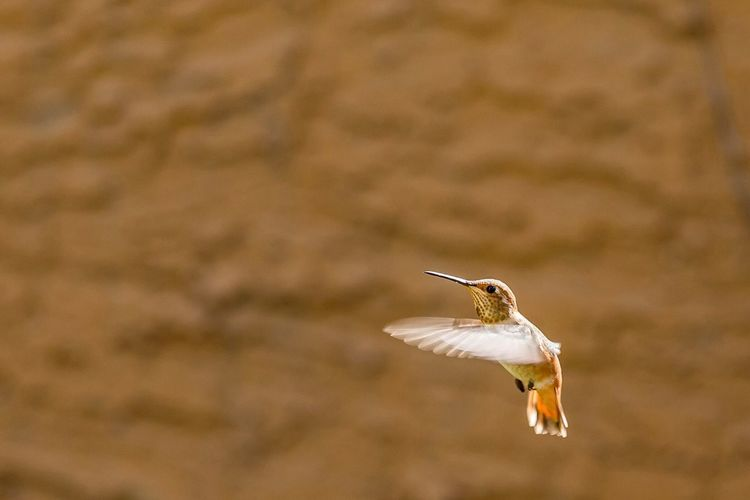 Close-Up Of Hummingbird Flying Against Wall