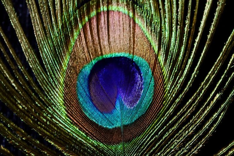 Full frame shot of peacock feather against black background