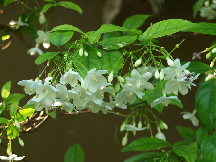 Wrightia religiosa Benth Beauty In Nature Botany Bouquet Branch Close-up Day Floral Flower Flowering Plant Focus On Foreground Fragility Freshness Green Color Growth Leaf Nature No People Outdoors Park Plant Plant Part Tropical Vulnerability  White Color Wild Water Plum