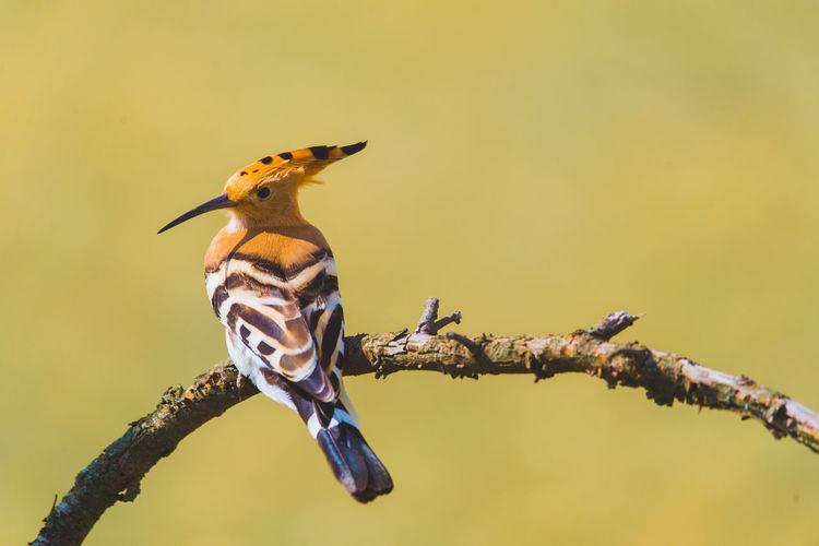 Birdwatching Nature Upupa Epops Wing Animal Wildlife Bird Branch Feather  Hoopoe Hoopoe Bird
