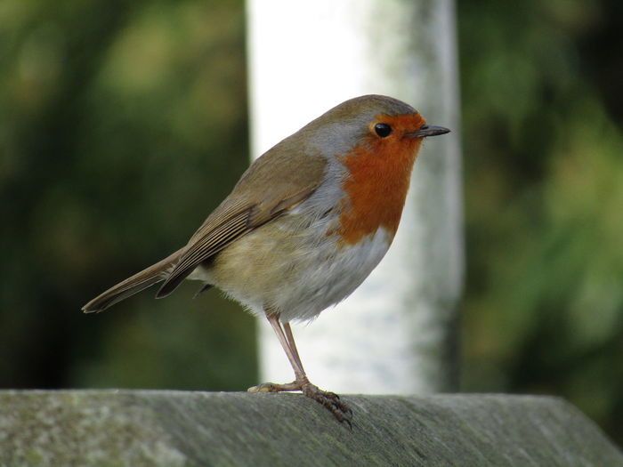 Animal Themes Animal Wildlife Animals In The Wild Bird Close-up Day Focus On Foreground Merry Xmas Nature No People One Animal Outdoors Perching ROBIN XMAS Xmas