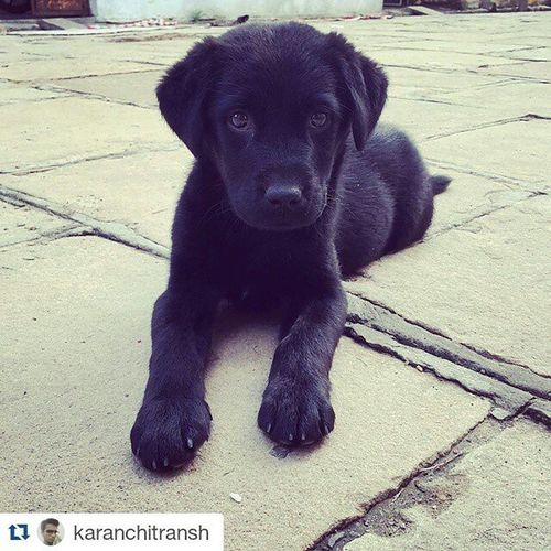 Repost @karanchitransh @1×5 with @repostapp ・・・ Meet whisky..!! Cute Labrador LabradorRetriever PuppyLove Blacklabrador Blacklabradorretriever Puppies LabradorPuppy Labradorpuppies Whiskey Whiskeygirl Labradorables Instadogs Instadog Dogsofinstagram Dogs Dogslover Doglovers Dogloversfeed Lovedog Lovedogs Lovedoggies Lovedogforever Lovable labradorlove labradorelovers labradorlover instapet justlabradors