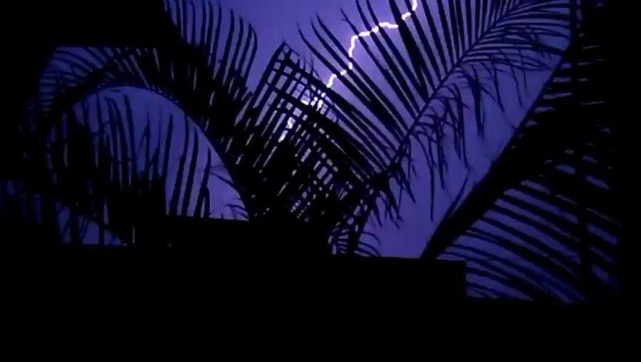 Overnight Success Palm Tree NIGHT LIGHTNING Leaves Dark Night Lightning