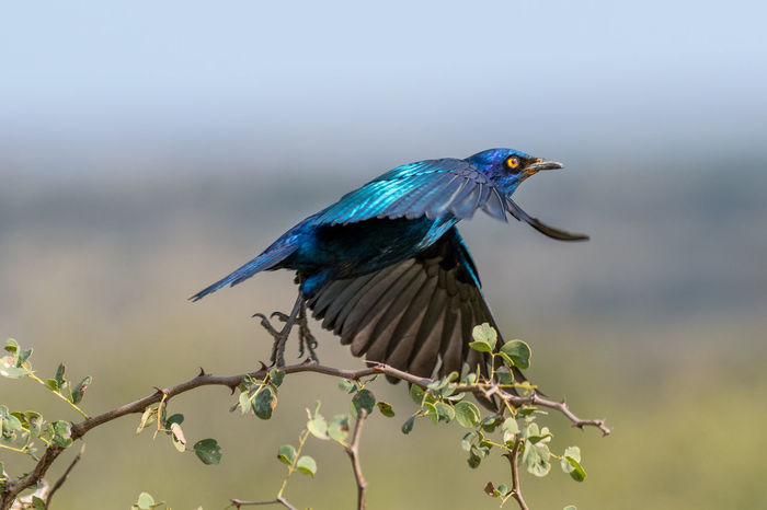 Bird Photography Wildlife Photography Animal Themes Animal Wildlife Animals In The Wild Beauty In Nature Bird Birds In Flight Blue Branch Close-up Day Focus On Foreground Glossy Starling Nature No People One Animal Outdoors Perching Tree Twig Wings Spread