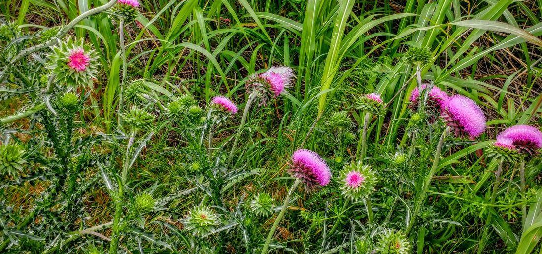 Thistle Flower Wildflowers Purple Flower Weeds Are Beautiful Too Spring 2016 Oklahoma Nature Oklahoma Fields
