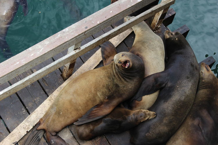 High angle view of relaxed sea lions