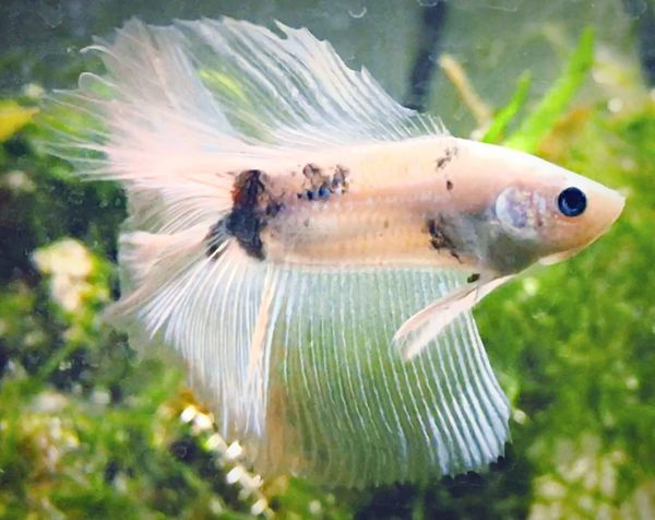 Fish One Animal Animal Themes Underwater Water Animals In The Wild Sea Life Swimming Animal Wildlife No People Nature Close-up Day UnderSea Aquarium Indoors  Betta Fish Bettafishcommunity Betta Lovers Bettafish