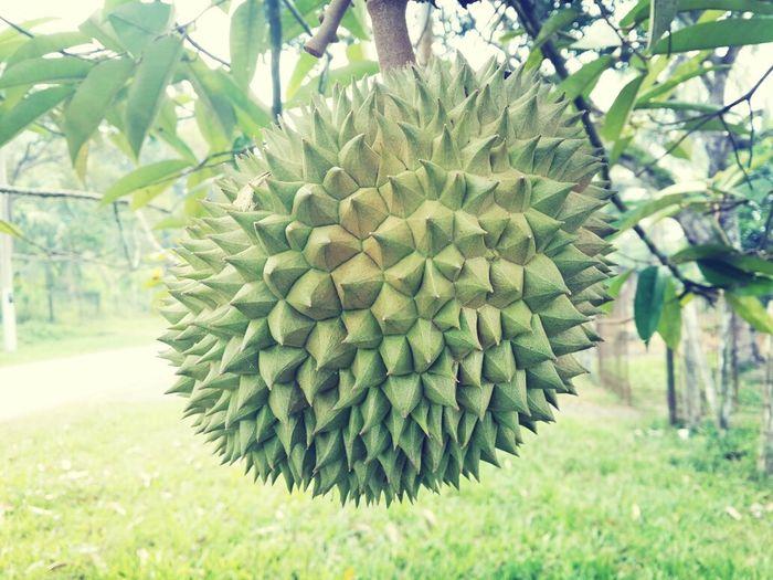 Durian Tropical