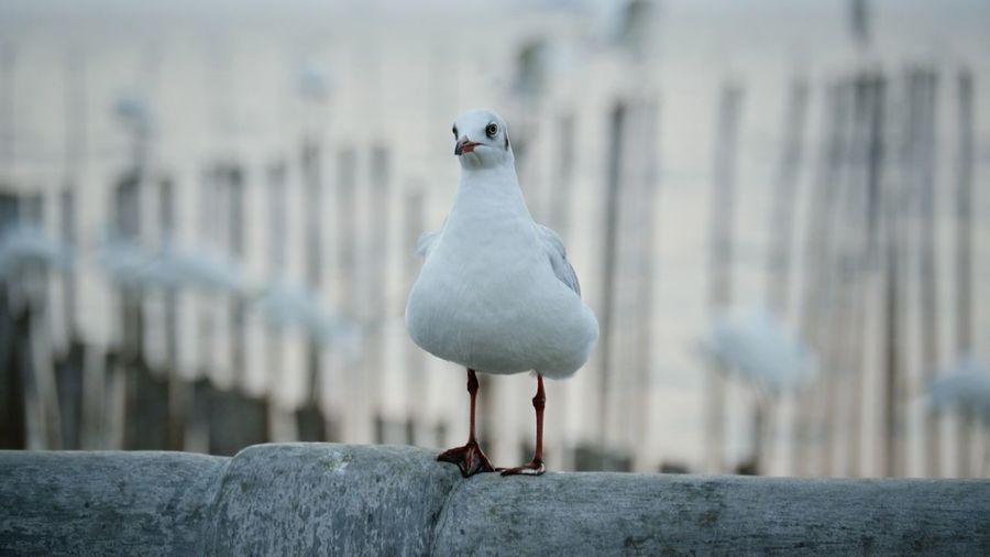 Seagull perching on wooden post