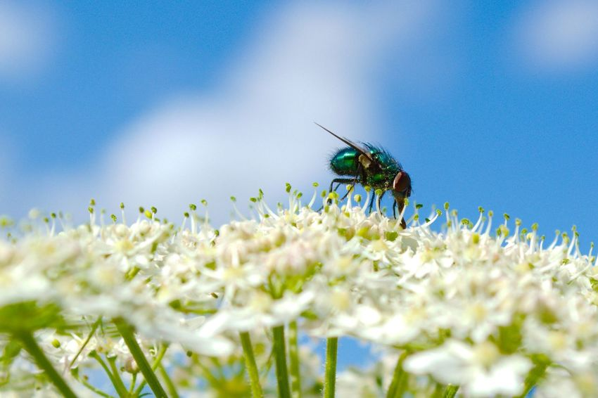 Close-up Flower Fly Greenbottle Insect Macro Nature Outdoors on top of the world Perspectives On Nature Gazisonit Gary Coupland