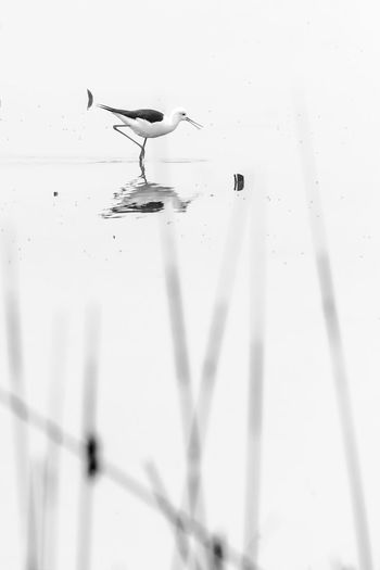 Animal Themes Bird Black And White Black And White Photography Close-up Day Drop Fishing Mirroring In Water Motion Nature No People Outdoors Parque National Coto Donana Reed SPAIN Water