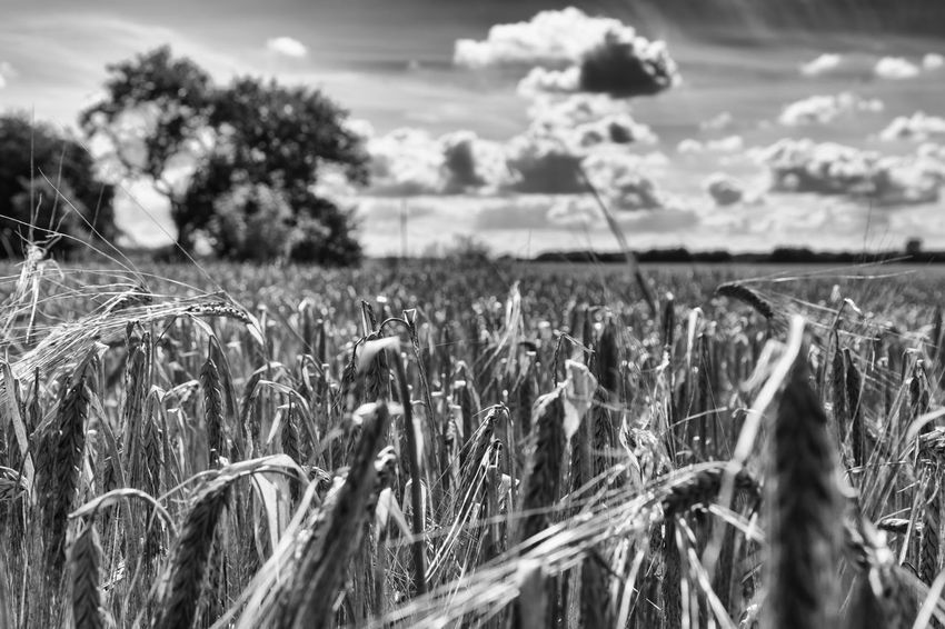 Close up on cereal plant - Abundance Agriculture Black & White Black And White Blackandwhite Cereal Plant Close-up Cloud - Sky Cultivated Cultivated Land Exceptional Photographs EyeEm Best Shots - Black + White Farm Field First Eyeem Photo Focus On Foreground Growing Hello World Landscape Monochrome Photography Rural Scene Scenics Tranquil Scene Tranquility Wheat