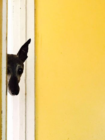 Pet Portraits Rescuedog Rescue Whippet Peeping Mummy, Don't Go!