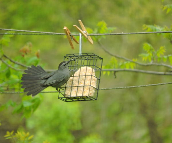 Gray Catbird Animal Animal Themes Bird Animal Wildlife Vertebrate Animals In The Wild One Animal Focus On Foreground Day No People Perching Bird Feeder Nature Green Color Hanging Metal Outdoors Spread Wings Tree