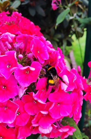 Life Summer Fluffybee Beautiful Nature IPhoneography Bumblebee Flower Flowering Plant Insect Invertebrate Animal Themes Animals In The Wild One Animal Beauty In Nature Pink Color Plant Bee Freshness Close-up Flower Head