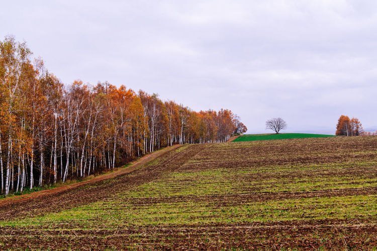 Farmland terrace in Autumn, Hokkaido, Japan Tree Plant Sky Land Landscape Tranquil Scene Environment Tranquility Beauty In Nature Nature Scenics - Nature Field No People Autumn Rural Scene Agriculture Outdoors Farmland Harvested Birch Trees Japan Hokkaido Biei Furano Travel
