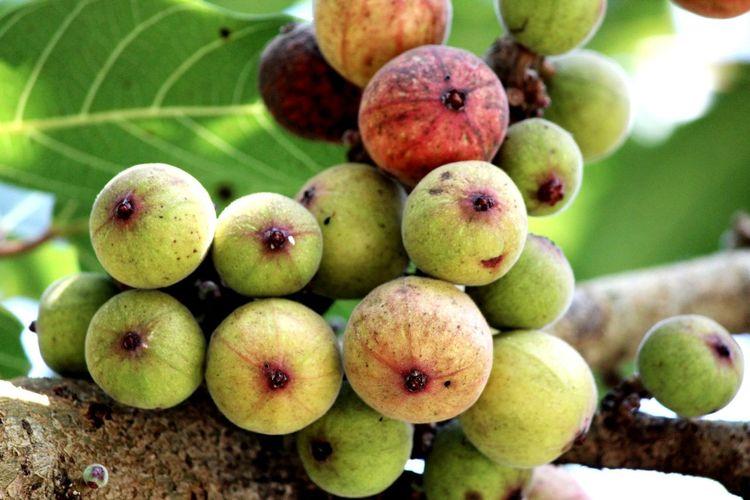 Close-up of fruits on banyan tree
