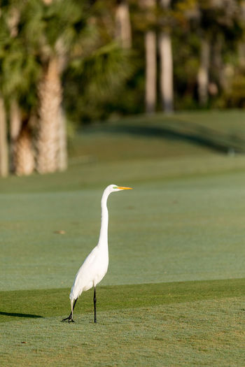 White great egret Ardea alba on a golf course in Florida Golf Course Animal Themes Animal Wildlife Animals In The Wild Ardea Alba Bird Birds Day Egret Florida Flying Great Egret Nature No People One Animal Outdoors White Egret Wings
