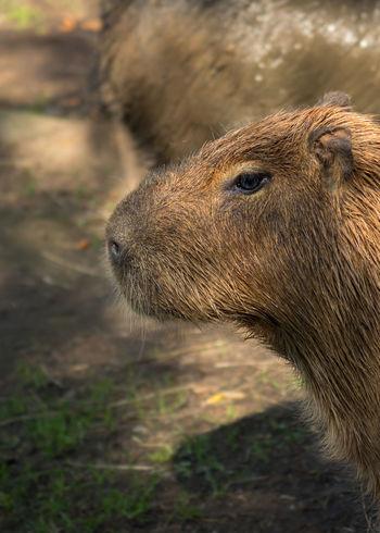 Capibara Mammal Animal Themes Fur EyeEm Best Shots Eye4photography  Close-up Animal Head  Animals