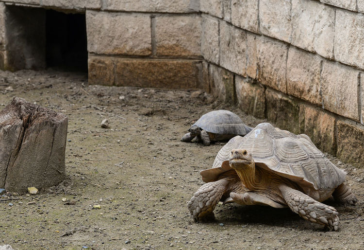 Animal Themes Animals In The Wild Day Nature Photography No People Old Turtle Outdoors Tortoise