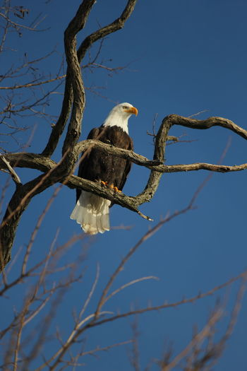 Low angle view of bald eagle perching on bare tree against clear sky