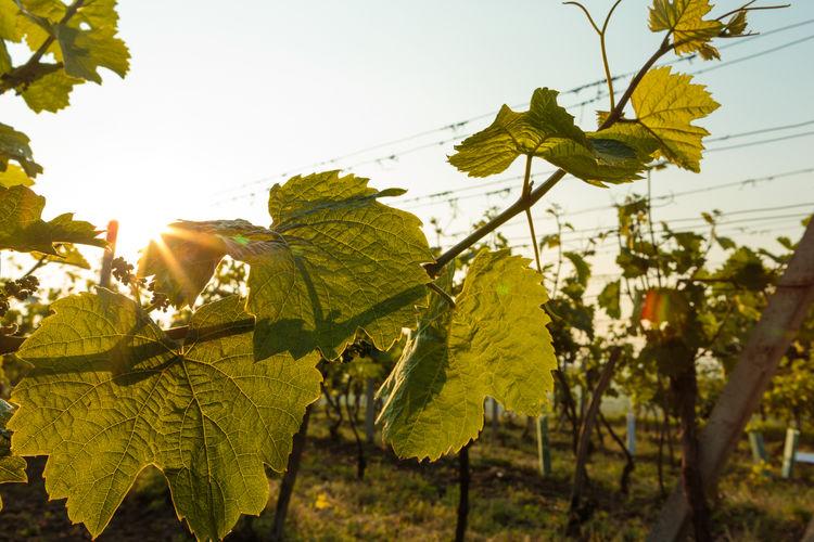 Vineyard Nature Sunrise Backlight Green Leaf Slovakia Field