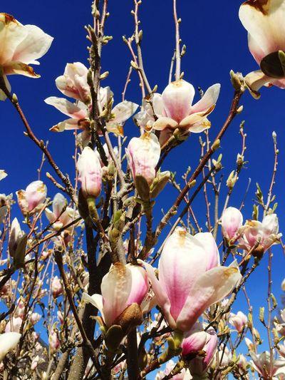 Spring Flowers Magnolia Blue Sky EyeEm Nature Lover