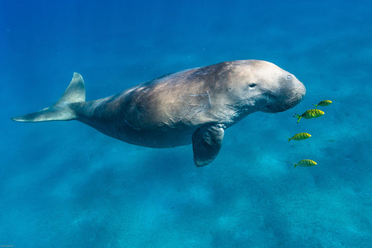 Diving RedSea Snorkeling Animal Animal Themes Animal Wildlife Animals In The Wild Aquatic Mammal Divingphotography Dugong Marine Mermaid Nature No People One Animal Redsea Diving Sea Sea Life Seekuh Siren Swimming UnderSea Underwater underwater photography Water