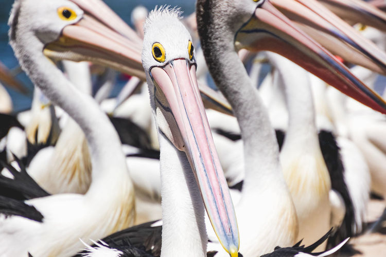 close up of pelicans at a local beach waiting for a regular feed by a local fish market Bird Animal Animal Themes Vertebrate Animal Wildlife Animals In The Wild No People Group Of Animals Pelican Beak Close-up Day Selective Focus Focus On Foreground Outdoors Nature Perching Medium Group Of Animals Flock Of Birds Pelicans
