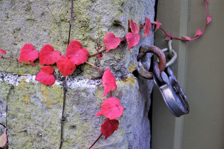 Autumn Colours Autumn🍁🍁🍁 Close-up Day Foliage, Vegetation, Plants, Green, Leaves, Leafage, Undergrowth, Underbrush, Plant Life, Flora Hanging Lock Nature No People Outdoors Pink Color Red Red Leaves Vine Red Vine No People Stone Wall Tree Weathered