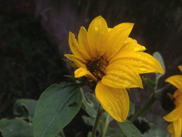 Beauty In Nature Blooming Close-up Day Flower Flower Head Nature No People Outdoors Plant Yellow