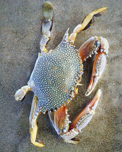 Eye4photography  Florida EyeEm Nature Lover Beach Wildlife Crab Sealife Animal_collection Seashells Nature