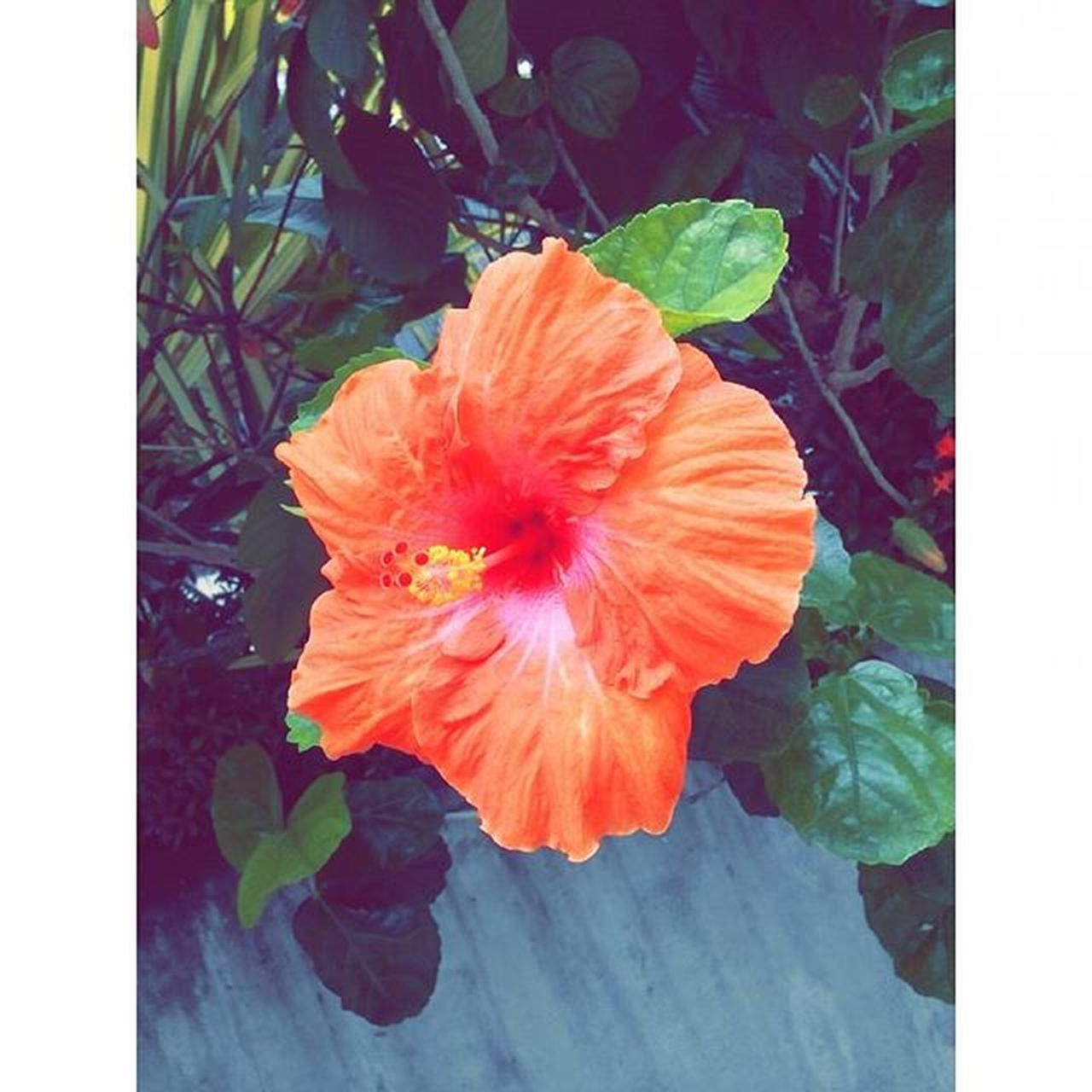 flower, plant, leaf, petal, growth, nature, flower head, beauty in nature, fragility, freshness, no people, outdoors, blooming, poppy, day, hibiscus, close-up