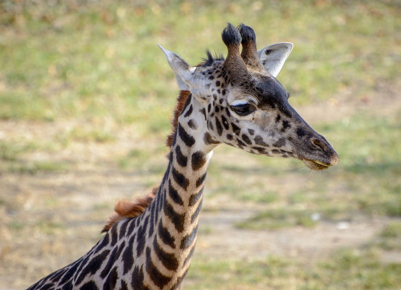 A young giraffe Animal Markings Animal Themes Animal Wildlife Beauty In Nature Day Giraffe Juvenile Giraffe Mammal Nature No People One Animal Outdoors Safari Animals Spotted Young Giraffe