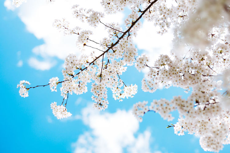 Flowering Plant Springtime Blossom Cherry Blossom Cherry Tree Outdoors Pollen Flower Head No People Branch Sky Growth Flower Tree Plant Beauty In Nature Cloud - Sky Day Nature Spring Freshness Fragility Low Angle View Vulnerability