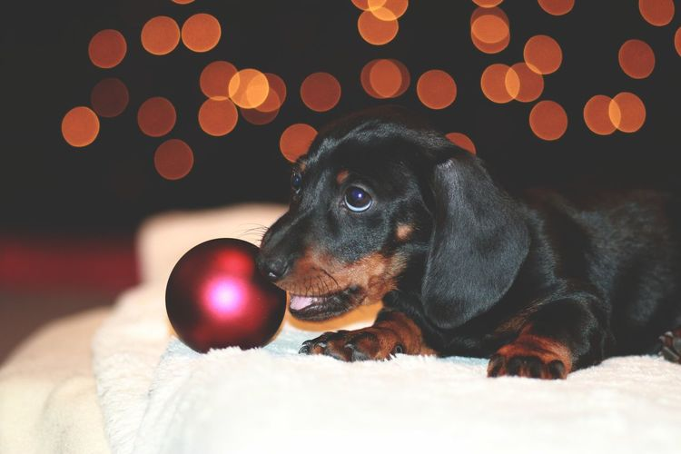 Dachshund Lights Dachshund Dachshunds Run Happiness Dogs Indor Pets Dog One Animal Domestic Animals Animal Themes Animal Indoors  Mammal No People Close-up Day