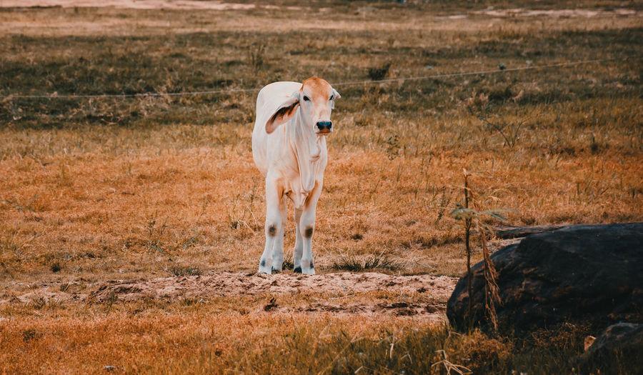 Farm cows living in grasslands. livestock farming in thailand