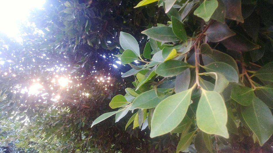 Leaf Nature Growth No People Low Angle View Plant Sunlight Tree Green Color Beauty In Nature Hojas De Colores Leafes Hojas EyeEm Nature Lover Arboles , Naturaleza árbol Beauty In Nature EyeEm Best Shots Colores Colors Trees Backgrounds Arbolesycolores Tree Sky