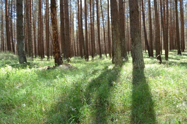 Tree Forest Tree Trunk Grass Sky Landscape Tree Area Grass Area Long Shadow - Shadow Focus On Shadow Treetop WoodLand