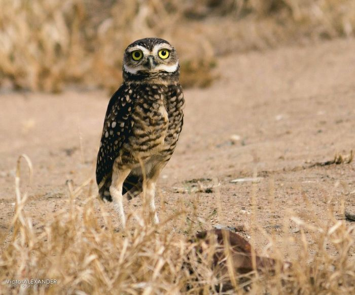 EyeEm Selects Animal Wildlife Animals In The Wild Animal Bird Nature One Animal Looking At Camera Animal Themes Bird Of Prey Arid Climate Day Full Length Mammal Grass Outdoors Portrait Sand Owl Desert No People First Eyeem Photo