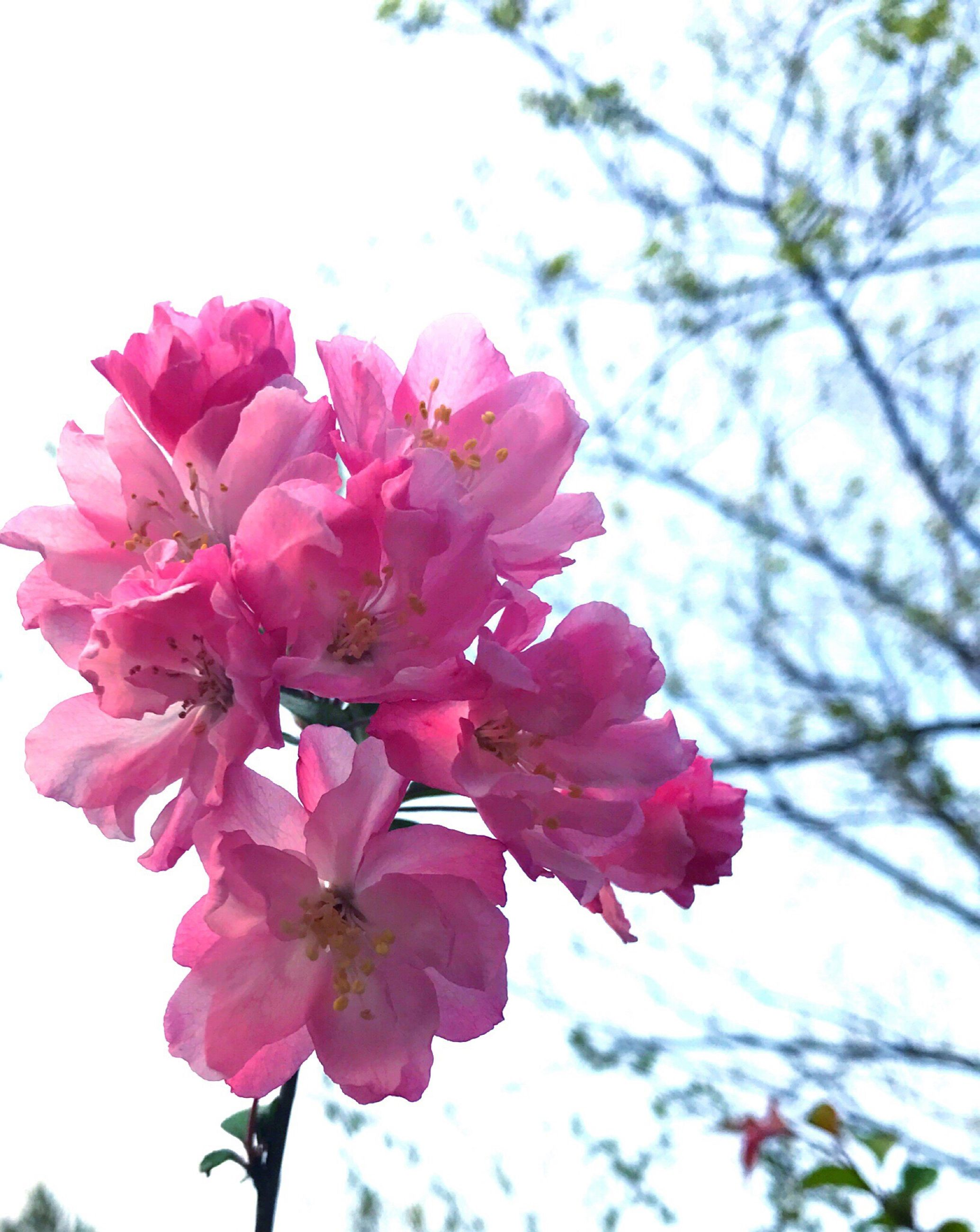 flower, nature, freshness, growth, fragility, beauty in nature, pink color, petal, close-up, flower head, springtime, sky, blossom, outdoors, no people, tree, day, rhododendron, pistil
