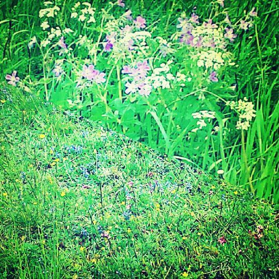 Summer flowers in Sweden