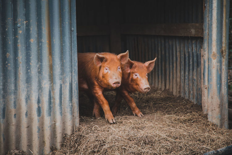 Mammal Domestic Animals Animal Themes Domestic Pets Animal Livestock Vertebrate One Animal No People Day Farm Barn Agricultural Building Standing Looking At Camera Shed Fence Portrait Outdoors Herbivorous Animal Pen Stable