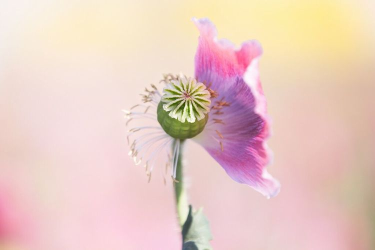 Flower Opium Poppies Opium Poppy Opium Flowers Flower Head Freshness Plant Pink Field Opium Field Beauty In Nature Nature