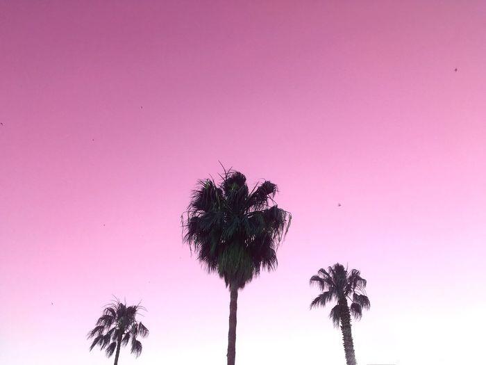 palm beach Palm Trees Nature Pink